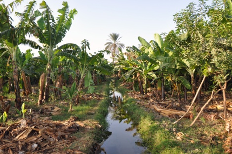 Banana planting along the fertile riverside