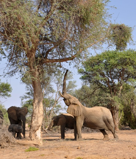 Desert adapted elephant...