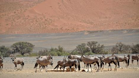 But there is life...these are Oryx. Good to look at, and good to eat...
