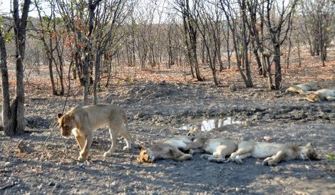 Lions resting...